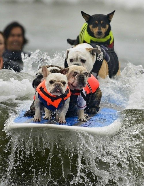 Teaching dogs to surf. i love the look of terror in the eyes of dog #2