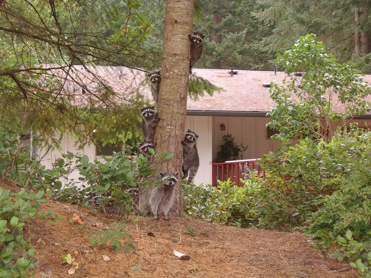 cute raccoon family in backyard fur babies pinterest