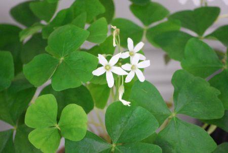 Shamrock plant ireland and everything irish pinterest - Shamrock houseplant ...