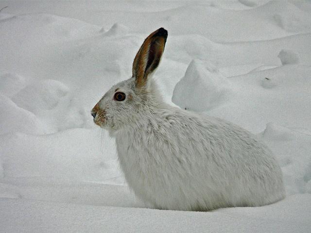Canadian snow rabbit