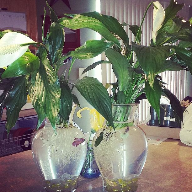 Beta fish and peace lilies aquariam ideas and tropical for Peace lily betta fish
