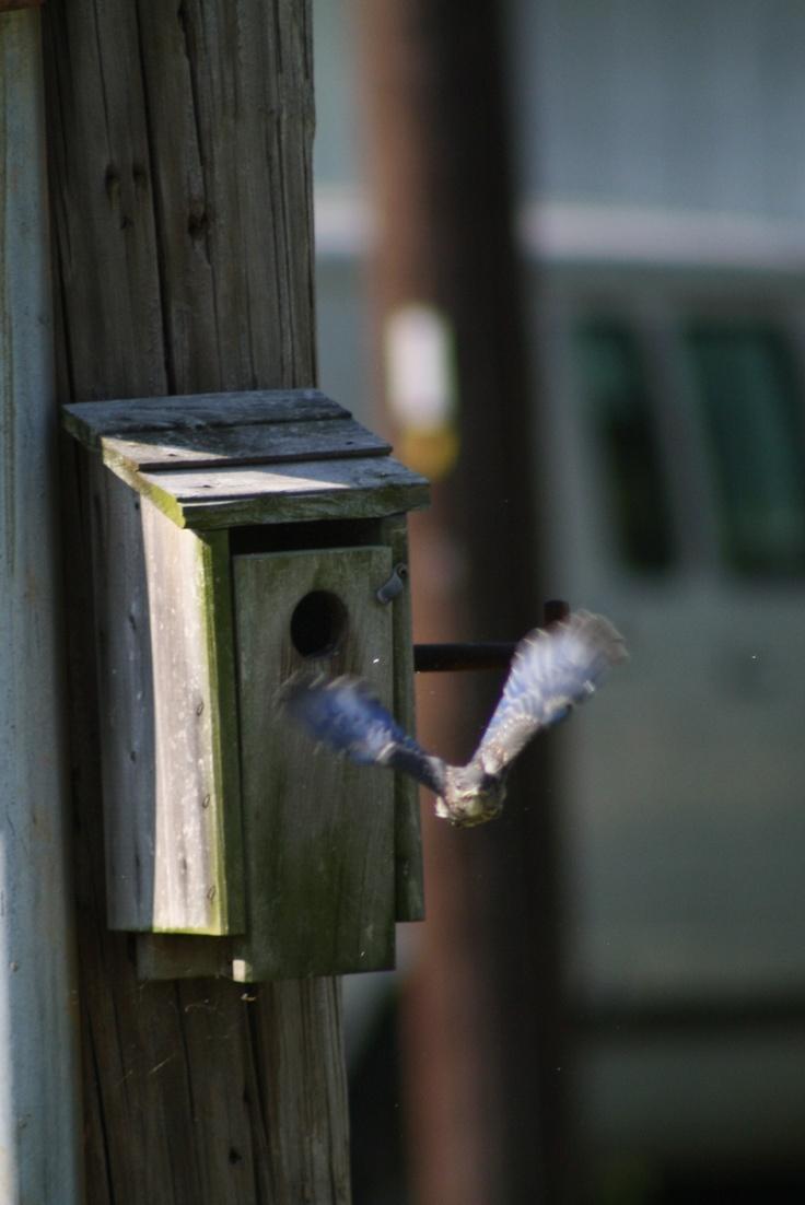 Second Blue Bird leaving nest.
