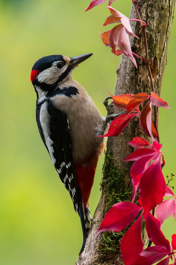 Levaillant's Barbet Great Spotted Woodpecker