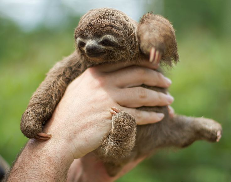 3 Toed Sloth Pictures Babies
