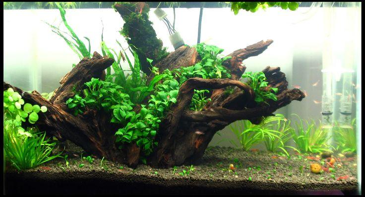 Very simple Planted Aquarium FISH!!! Pinterest