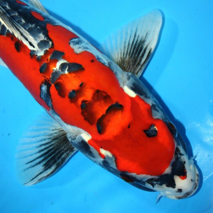 Pinterest for Ghost koi fish