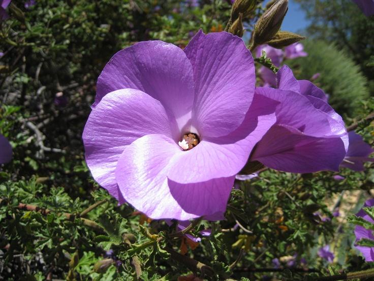 Purple Hibiscus  Beautiful Flowers  Pinterest