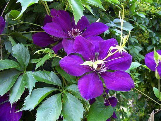clematis 39 jackmanii 39 pretty flowers pinterest. Black Bedroom Furniture Sets. Home Design Ideas