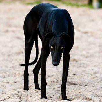Le Greyhound 65bd8b7dcf1ff74983fef4fe7b23777c