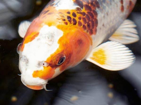 Pin by tara o on things that make u go hmmm or for Ph for koi fish
