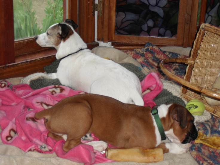 Ollie and the B | Oliver (Boxer) & Turner (Jack Russell) | Pinterest