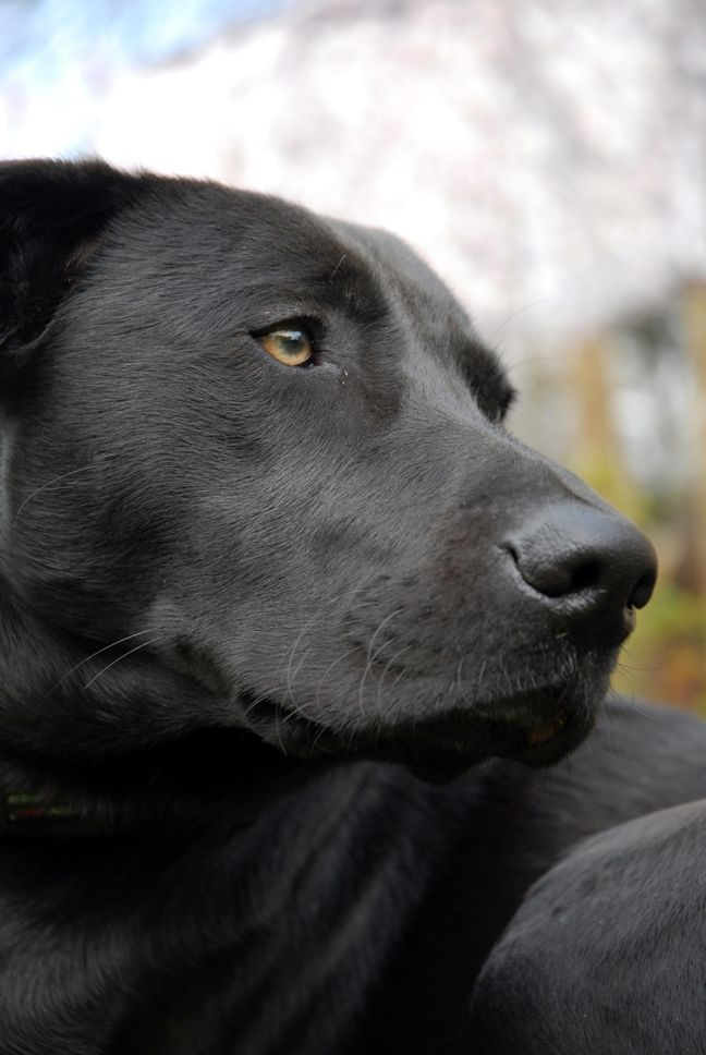 The Black Dog Syndrome and Pet Adoption Issues