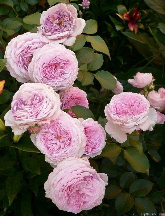 39 james galway 39 rose photo garden roses pinterest. Black Bedroom Furniture Sets. Home Design Ideas