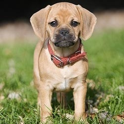 puggle puppy names