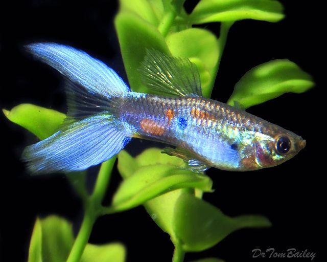 Blue Lyretail Guppy Fish I Like Pinterest