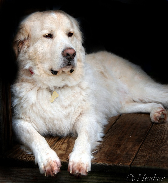 related pictures great pyrenees golden retriever mix puppy for Car