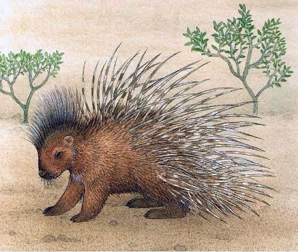 Porcupine | Animals*Beavers, Possums, Porcupines & Skunks | Pinterest