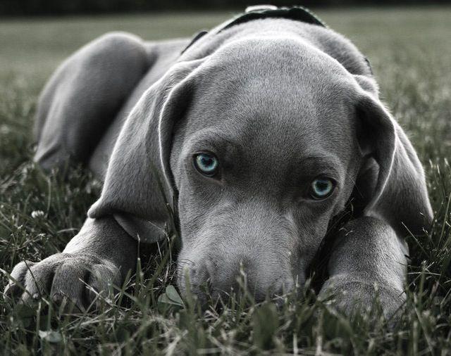 Blue Weimaraner Puppy #weimaraner
