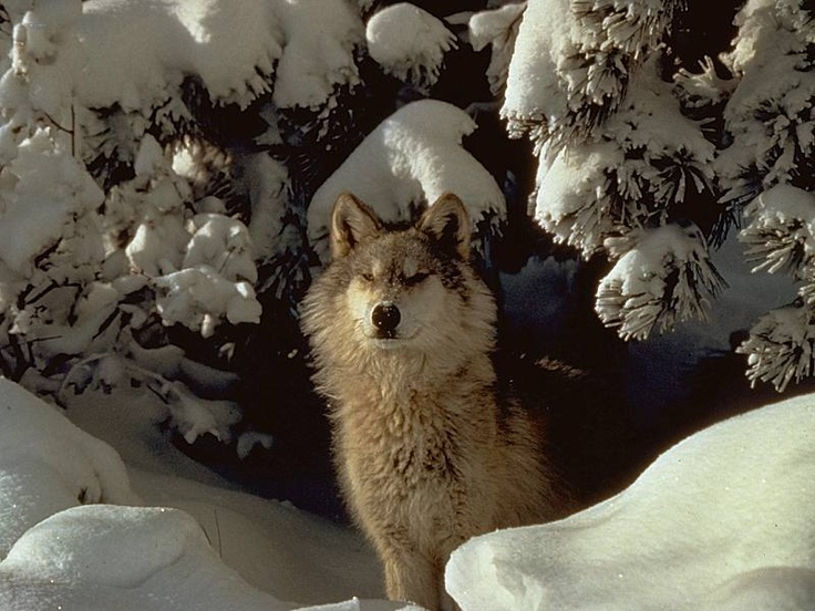 Wolves In The Wild | W O L V E S | Pinterest