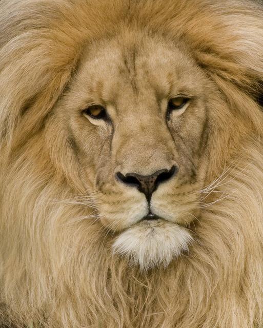 Katanga Lion and other photosKatanga Lion