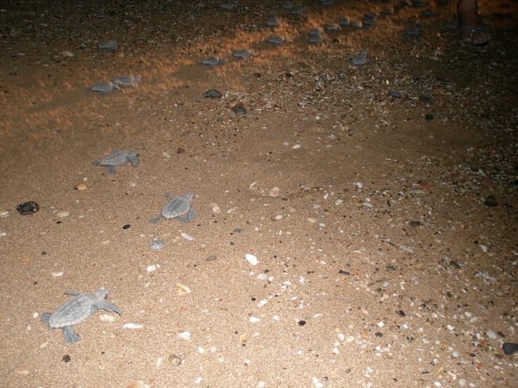 Loggerhead Turtles hatched and heading to sea. Bundaberg, Australia. March 2010