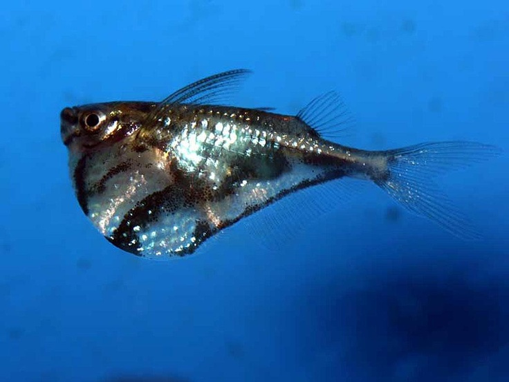 Marbled hatchetfish Aquarium Fish Pinterest