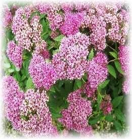 Best foundation shrubs gardening landscaping pinterest for Low maintenance foundation shrubs