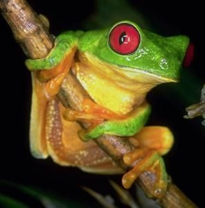 Tree Frog Sounds At Night