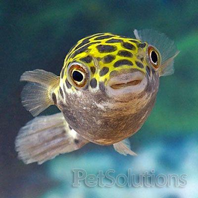 Brackish water Spotted Puffers & Figure 8 pufferfish LOVE Hikari Bio ...