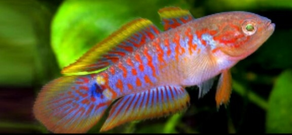 Peacock Goby Tropical fish ? Pinterest