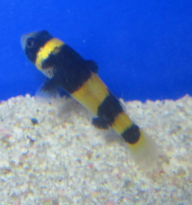 Bumblebee Goby for Live Freshwater Planted Aquarium Fish