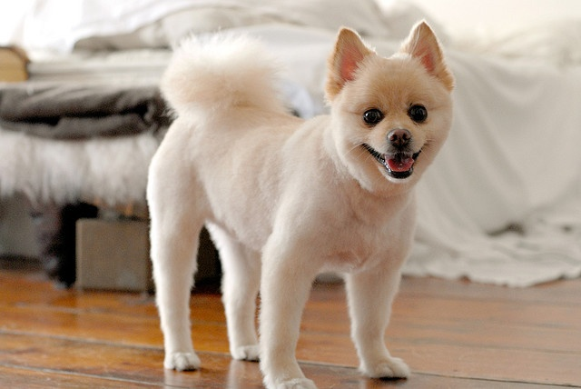 Pomeranian short hair cut