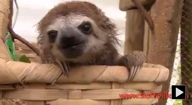 sloth animal group