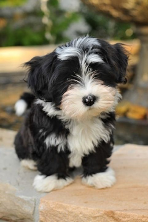 Black and white havanese | things i love | Pinterest