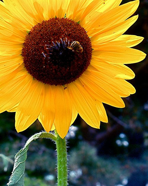 Bee kissing a sunflower | *WELCOME SPRING | Pinterest