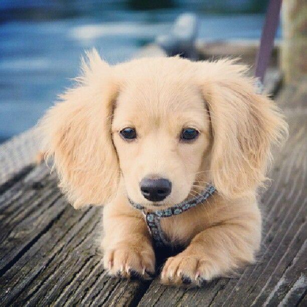 AWW!! Dachshund Mixed with Golden Retriever....How on earth do you mix ... Chihuahua X Pitbull