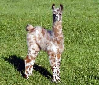 Omg. I want this mini llama. How precious