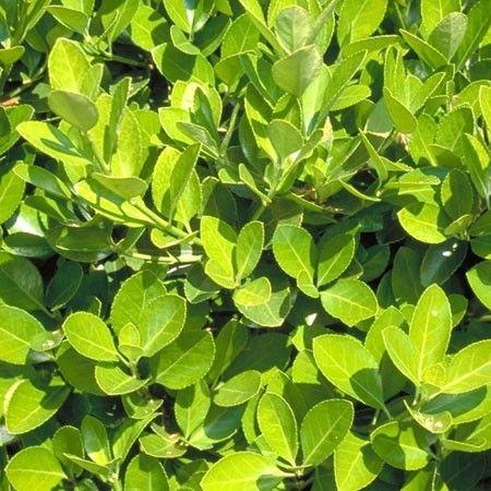 Fusain du japon 39 vert 39 plantes de lisi re pinterest for Plante et jardins