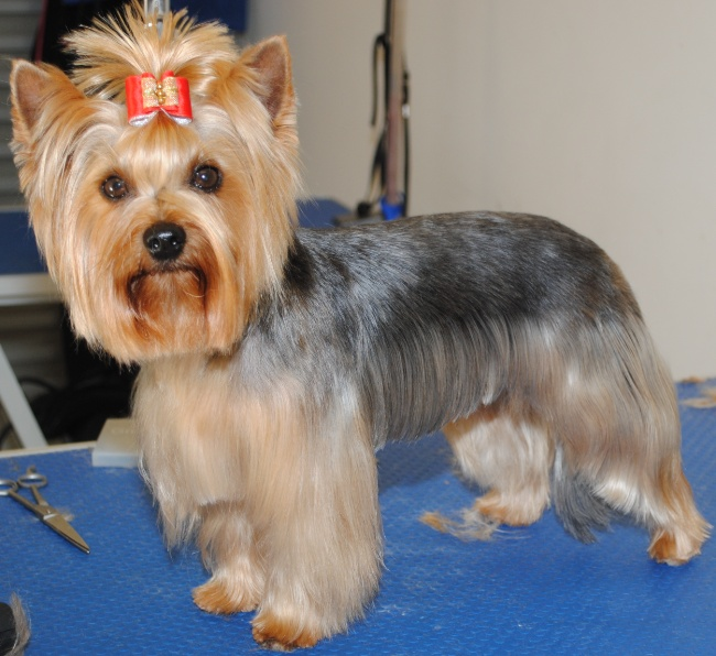 Pin Yorkshire Terrier Hairstyles On Pinterest