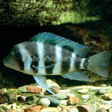 Frontosa Cichlid Tropical Fish Pinterest