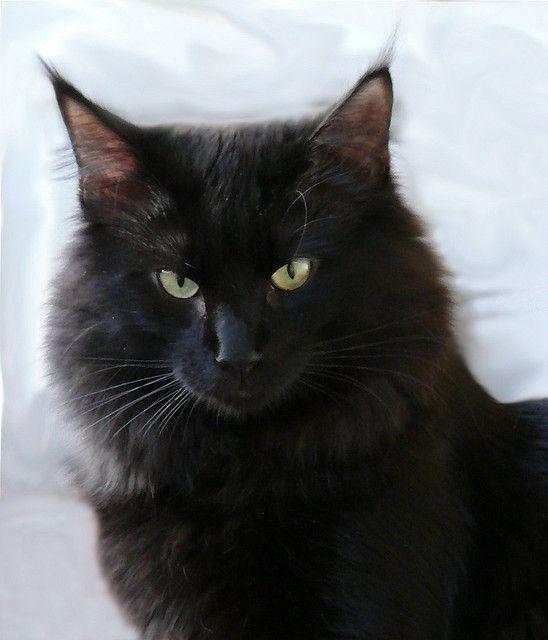Norwegian Forest Cat Black Smoke