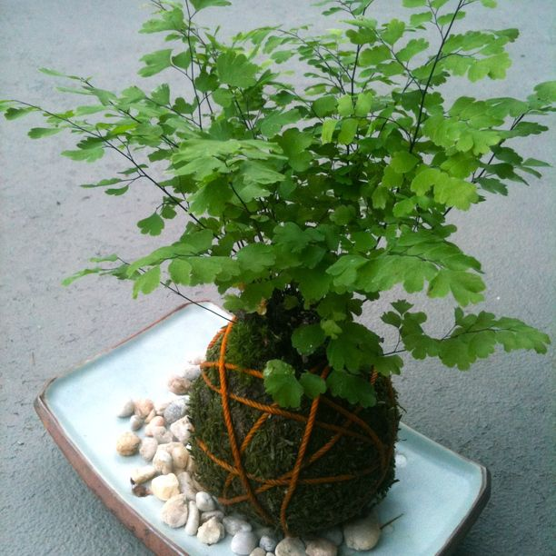 Pin by allison l ashby on kokedama pinterest for Plants found in japanese gardens