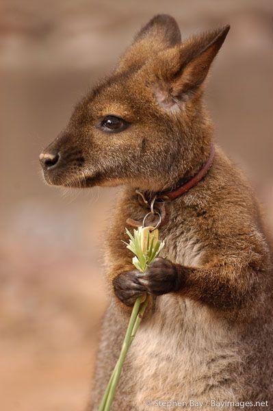 Baby kangaroo.