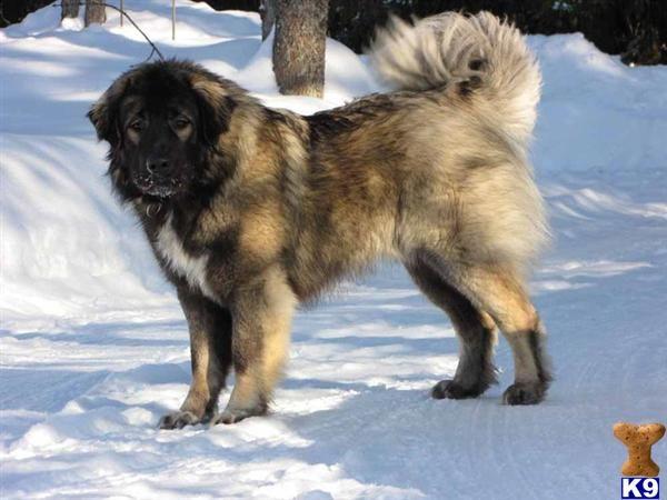 Caucasian Mountain Dog | Animals | Pinterest