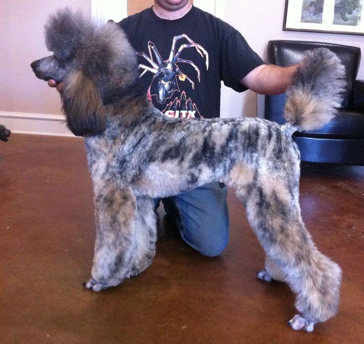 Fionas Page- brindle poodle   Oodles of poodles   Pinterest
