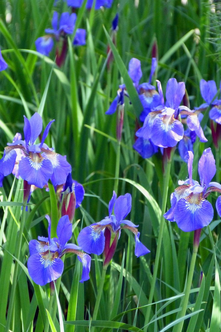 siberian iris mon jardin d 39 iris pinterest