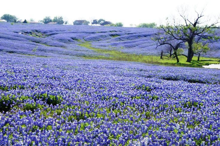 Bluebonnets.  Deep in the heart of Ennis, Texas.