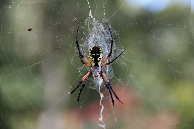 Female 39 Black And Yellow Garden Spider 39 Creatures I Found On The Jo