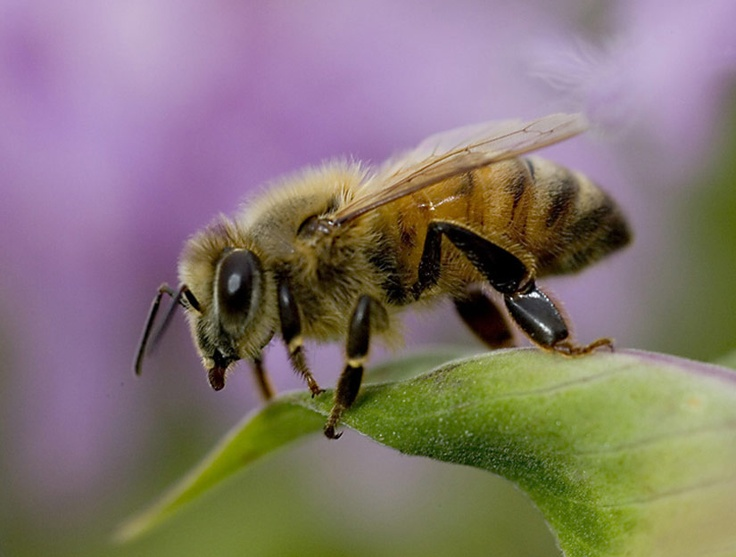 fuzzy honey bee | Bees | Pinterest