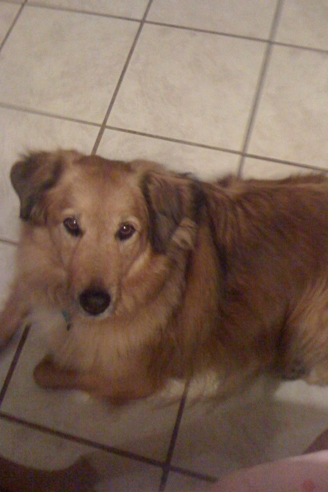 The gallery for --> Irish Setter Yellow Lab Mix